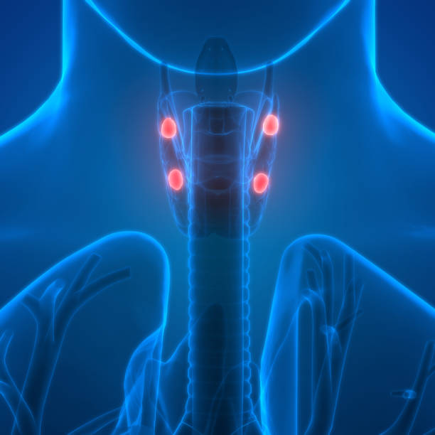 Royalty Free Parathyroid Gland Pictures Images And Stock Photos