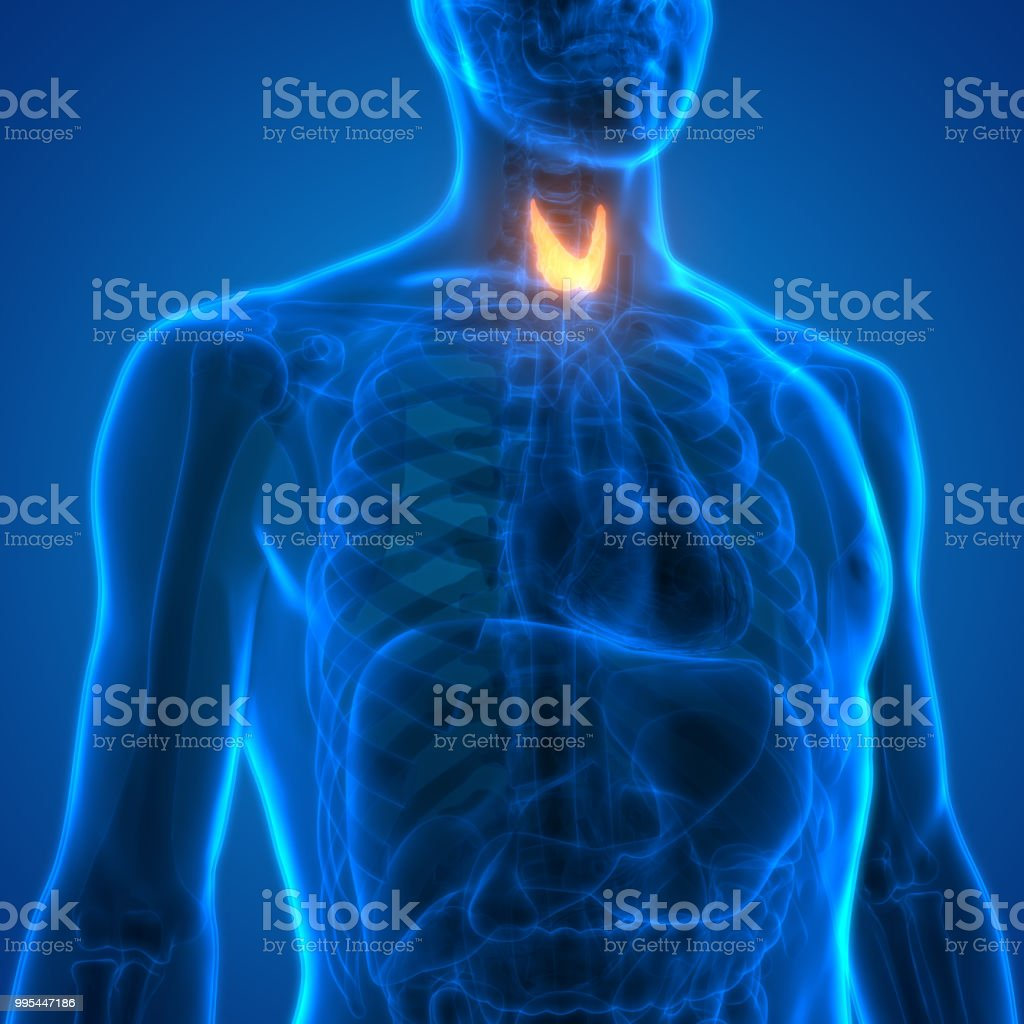 Human Body Glands Anatomy Stock Photo & More Pictures of Abdomen ...