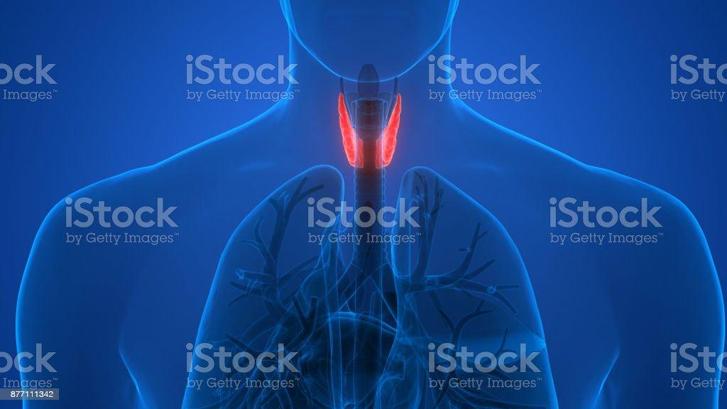 Fotografía de Cuerpo Humano Glándulas Anatomía Vista Posterior y más ...