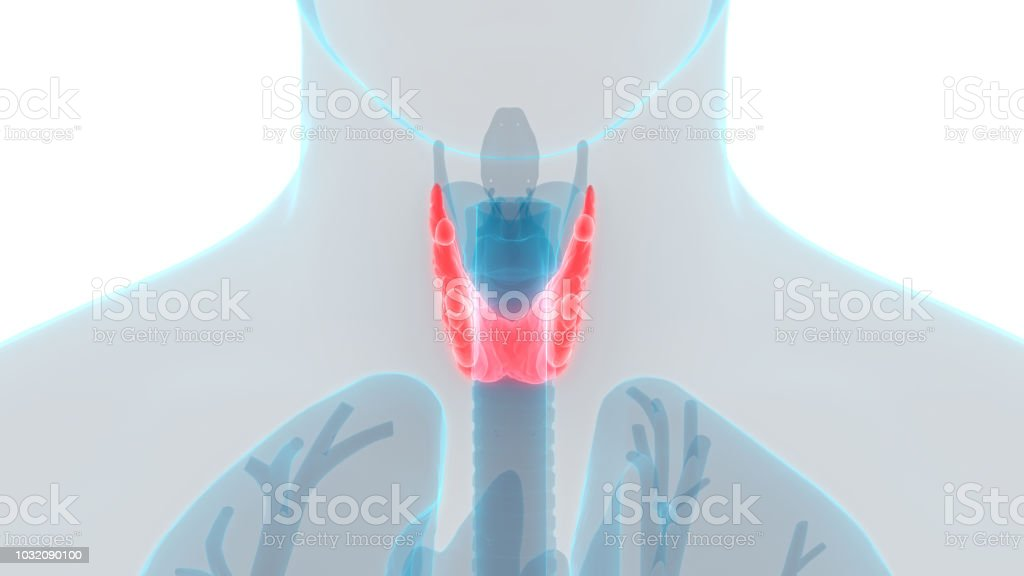 Human Body Glands Lobes Of Thyroid Gland Anatomy Stock Photo More