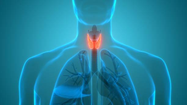 Human Body Glands Lobes of Thyroid Gland Anatomy stock photo
