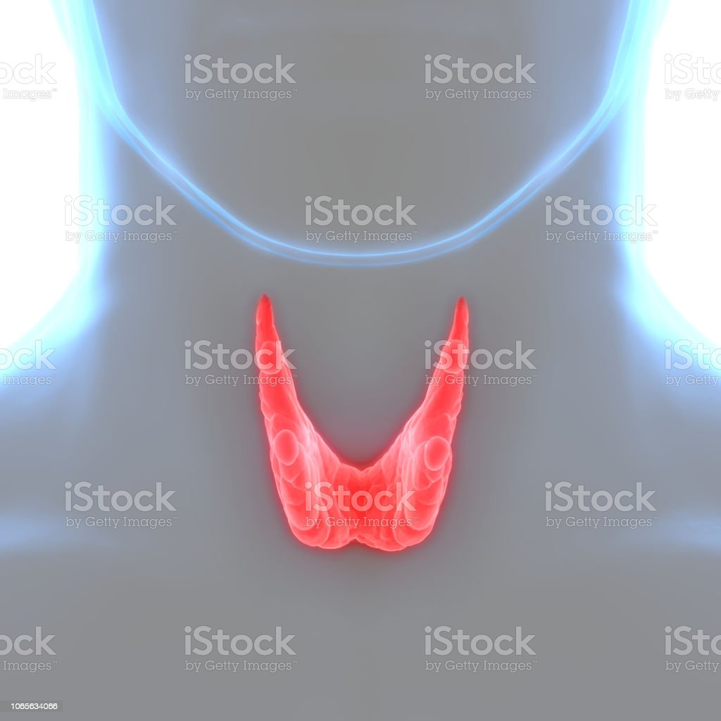 Human Body Glands Thyroid Gland Anatomy Stock Photo More Pictures