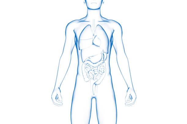 Human Body, Internal Organ, Medical 3D Model stock photo