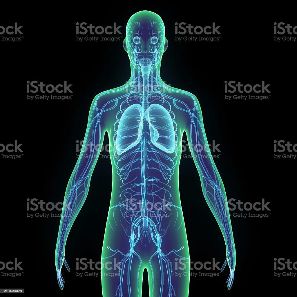 Fotografía de Cuerpo Humano Pulmones y más banco de imágenes de ...