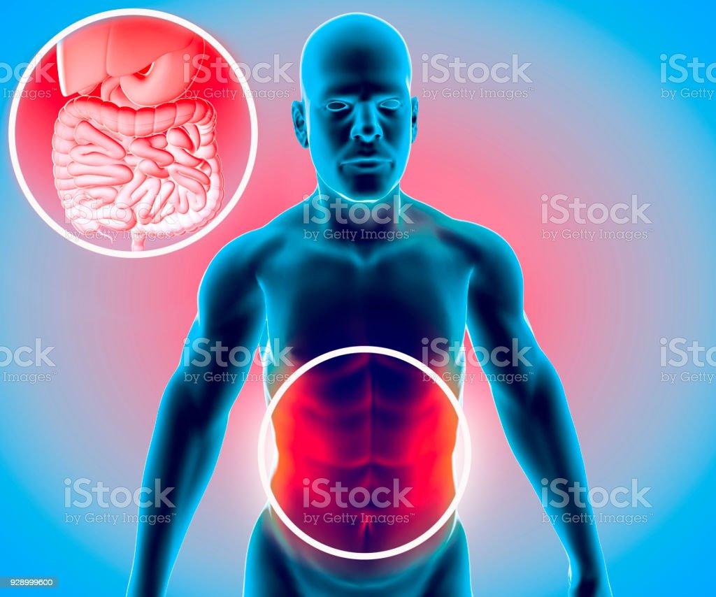 Fotografía de Cuerpo Humano Hombre Sistema Digestivo Anatomía ...