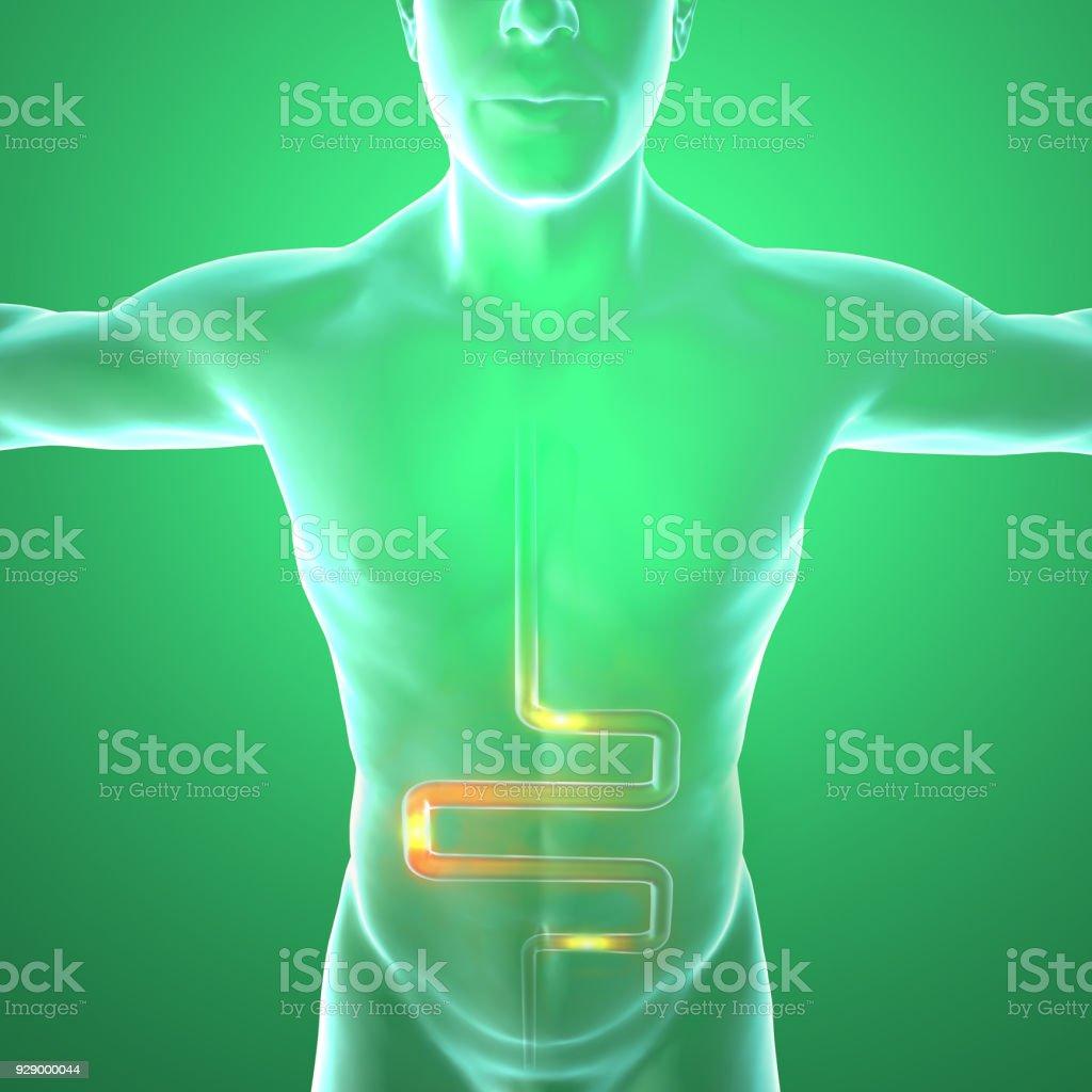 Menschlichen Körper Mann Verdauungssystem Anatomie Darm Erweiterung ...