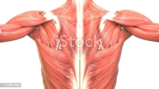 istock Human Body Muscles Anatomy 1140801894