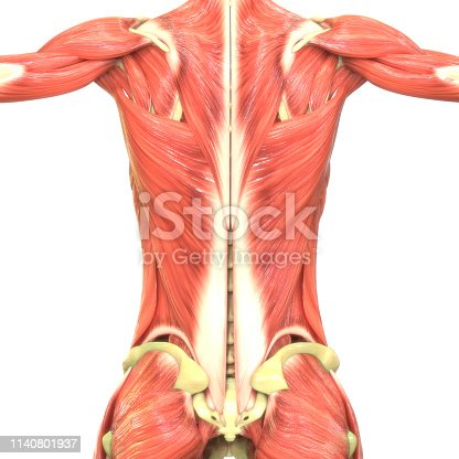 istock Human Body Muscles Anatomy 1140801937