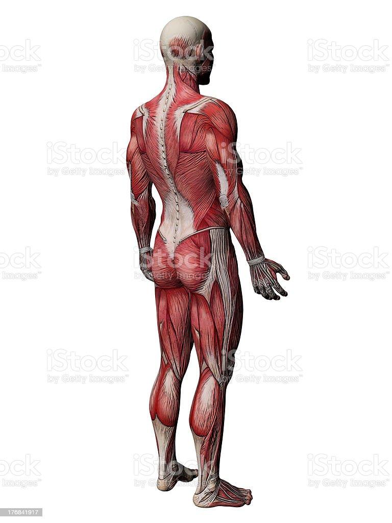 Menschliche Körperanatomie Muskeln Stock-Fotografie und mehr Bilder ...