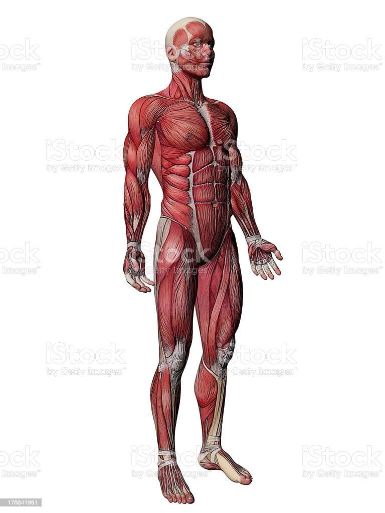 Fotografía de Cuerpo Humano Músculos De Anatomía Humana y más banco ...
