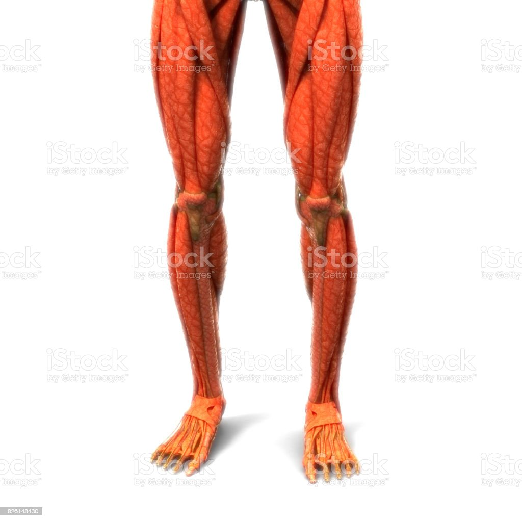 Human Body Muscles Anatomy Stock Photo & More Pictures of Abdomen ...