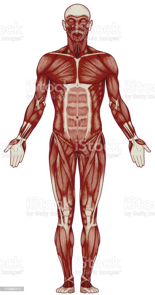 Human body, muscles (bitmap) royalty-free stock photo