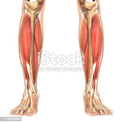 istock Human Body Muscular System Anatomy 1179009385