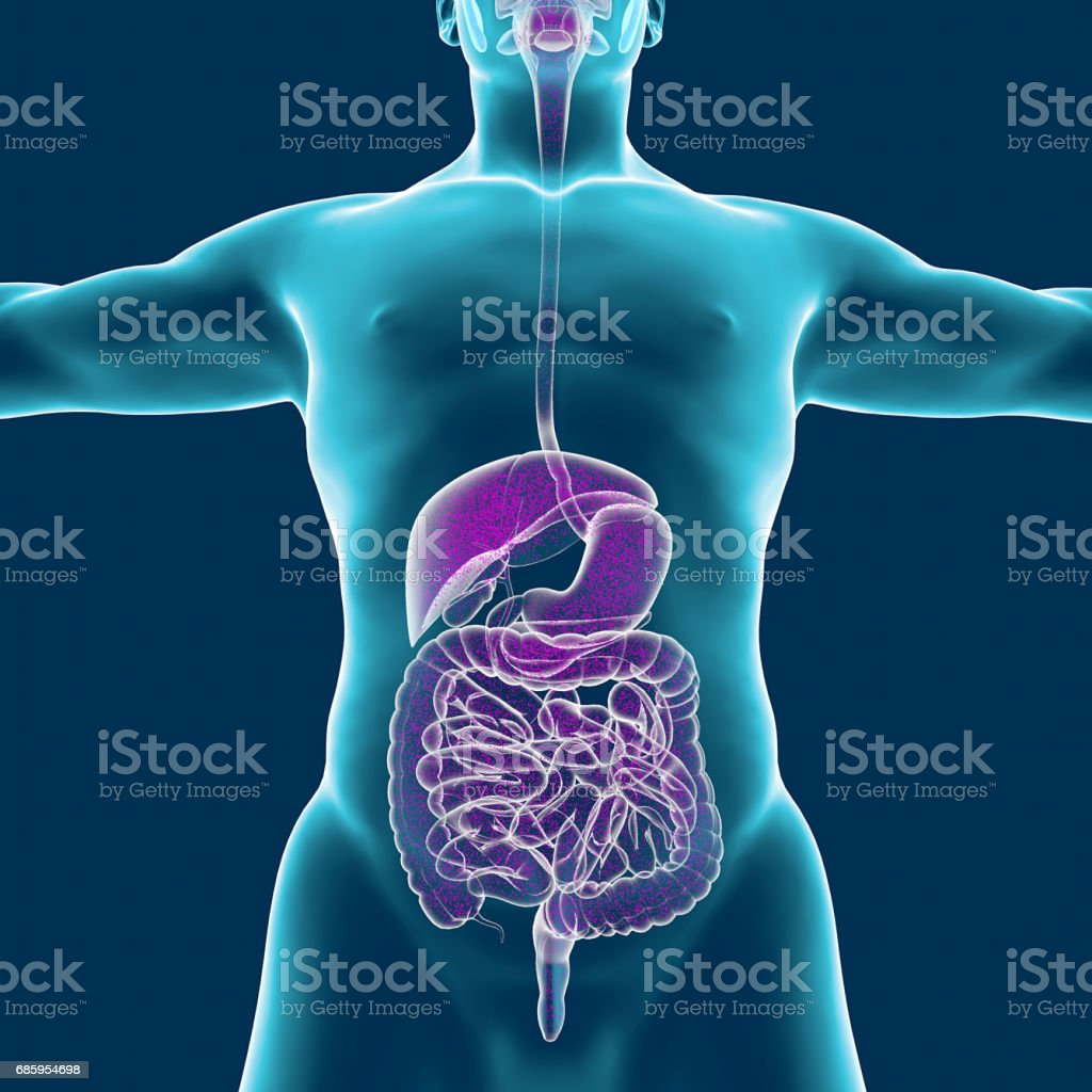 Human body muscular system person digestive system anatomy 3d human body muscular system person digestive system anatomy 3d rendering royalty ccuart Choice Image