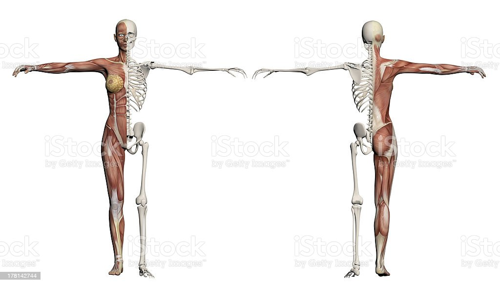 Human body of a female with muscles and skeleton royalty-free stock photo