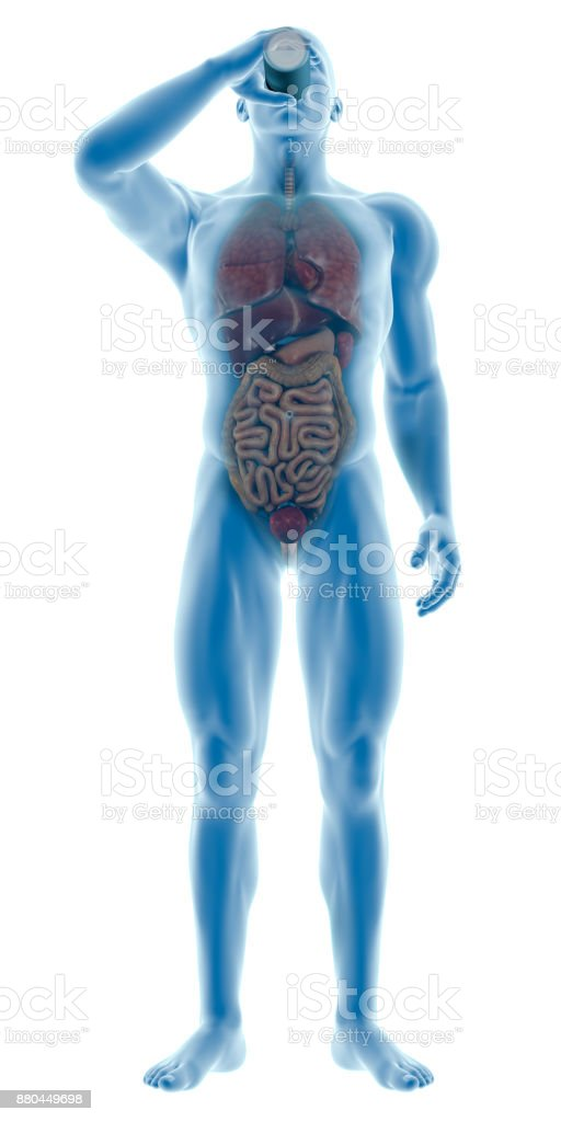 Human Body Of A Man Drinking Water Bottle Showing Internal Organs