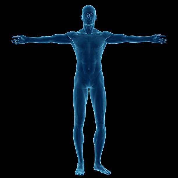 Royalty Free Anatomy Body The Human Body Arms Outstretched Pictures