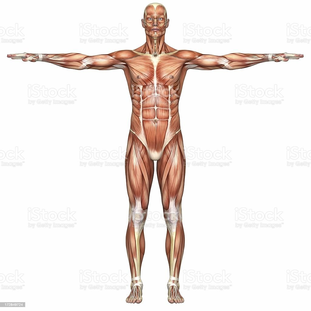 Human Body Of A Man With Muscles Stock Photo & More Pictures of ...