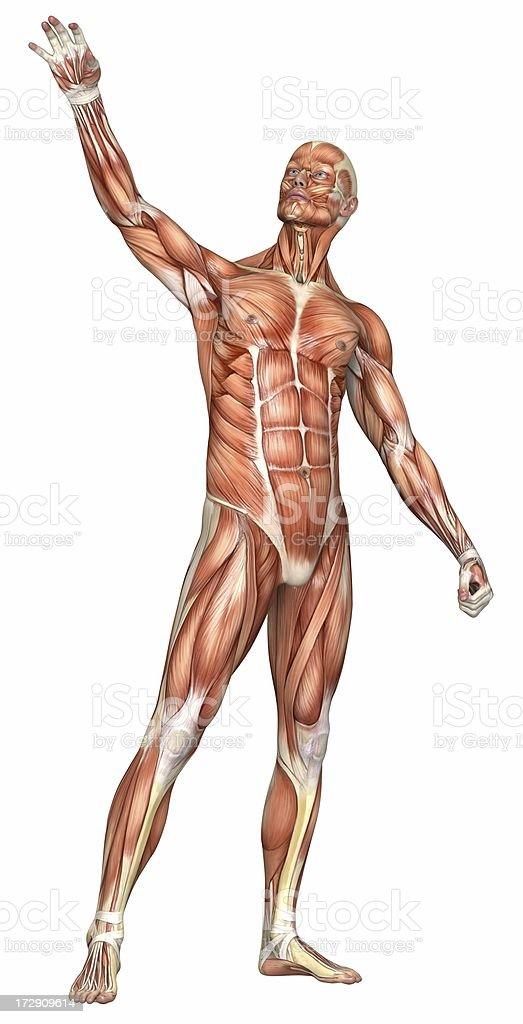 Menschlichen Körper Eines Mannes Mit Muskeln Stock-Fotografie und ...