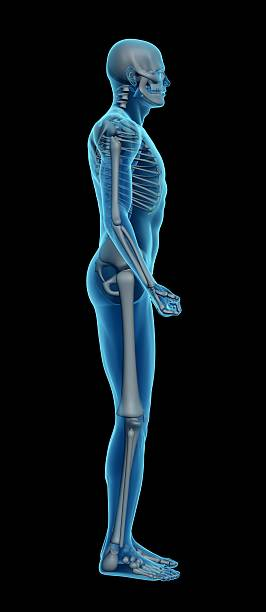 human body of a man with skeleton for study - animal body part stock photos and pictures
