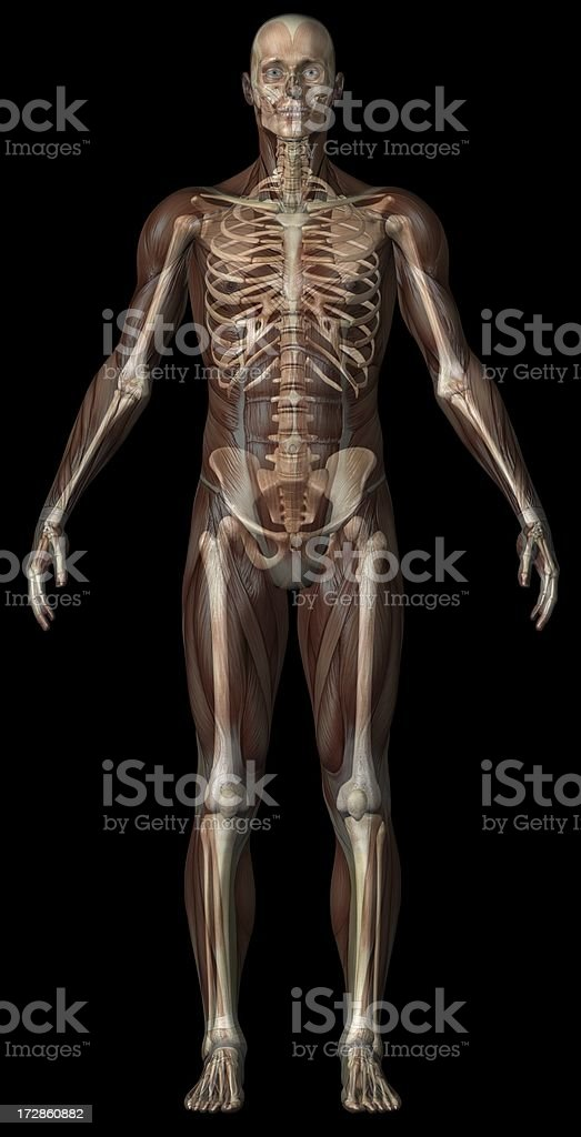 Human body of a man with transparent muscles and skeleton royalty-free stock photo