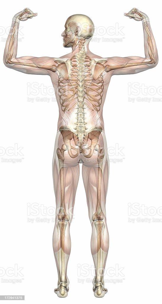 Menschlichen Körper Eines Mannes Mit Transparenten Muskeln Und ...