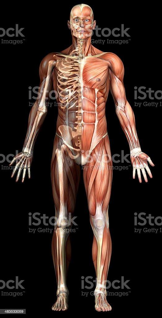 Fotografía de Cuerpo Humano De Un Hombre Con Los Músculos Y ...