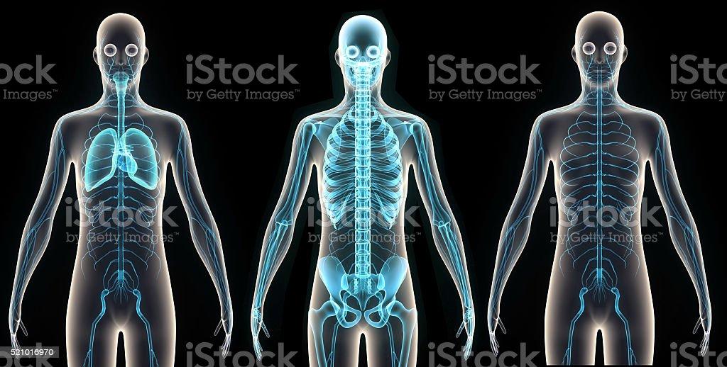 Corpo umano organes - foto stock