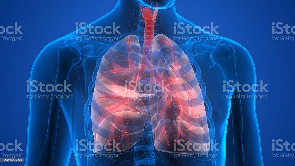 Human Body Organs 3d Stock Fotografie Und Mehr Bilder Von Abstrakt