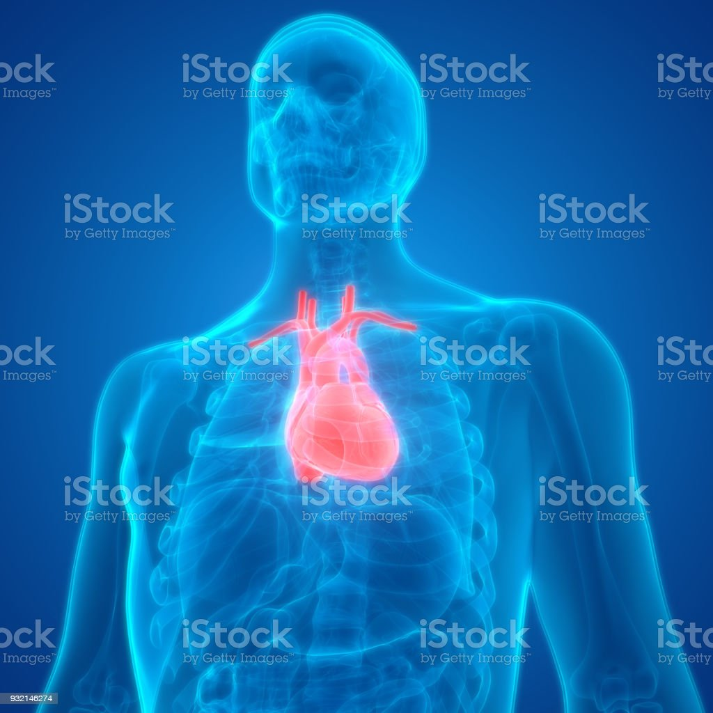 Human Body Organs Anatomy 3d Stock Photo More Pictures Of Abstract