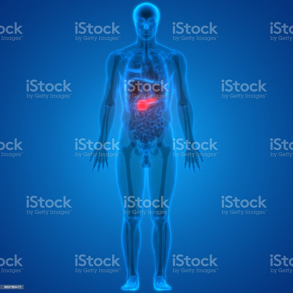 Human Body Organs Anatomy Pancreas Stock Photo More Pictures Of