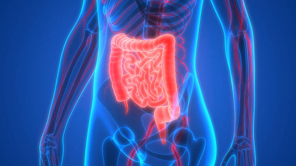Human Body Organs Anatomy (Large and Small Intestine) stock photo