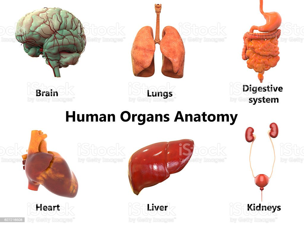 Human Body Organs Anatomy Stock Photo & More Pictures of Abstract ...