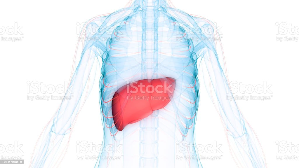 Human Body Organs Anatomy (Liver with nervous system) stock photo