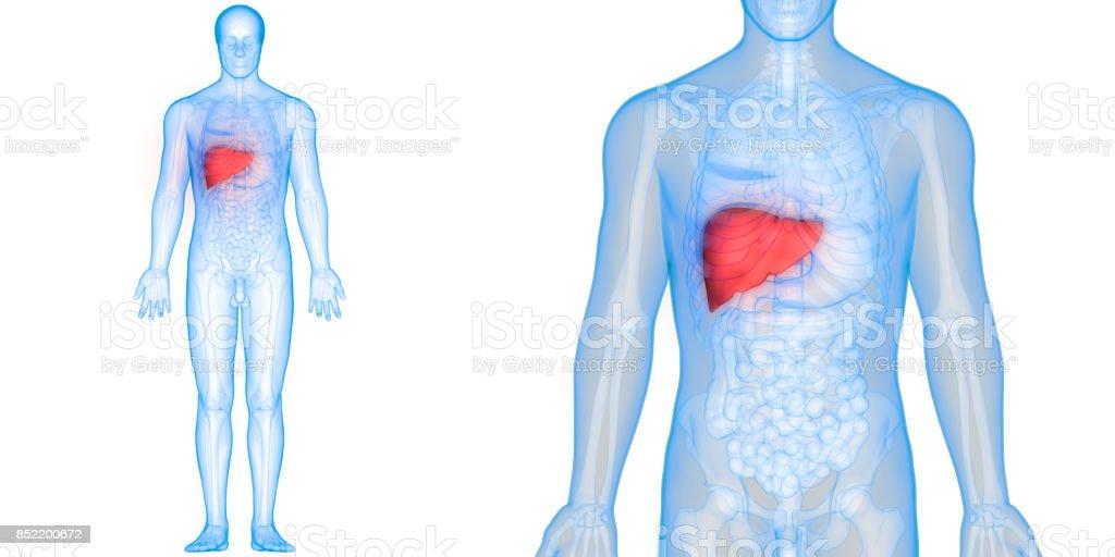 Human Body Organs Anatomy (Liver) stock photo
