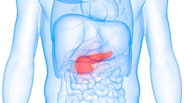 Human Body Organs Anatomy (Pancreas) stock photo