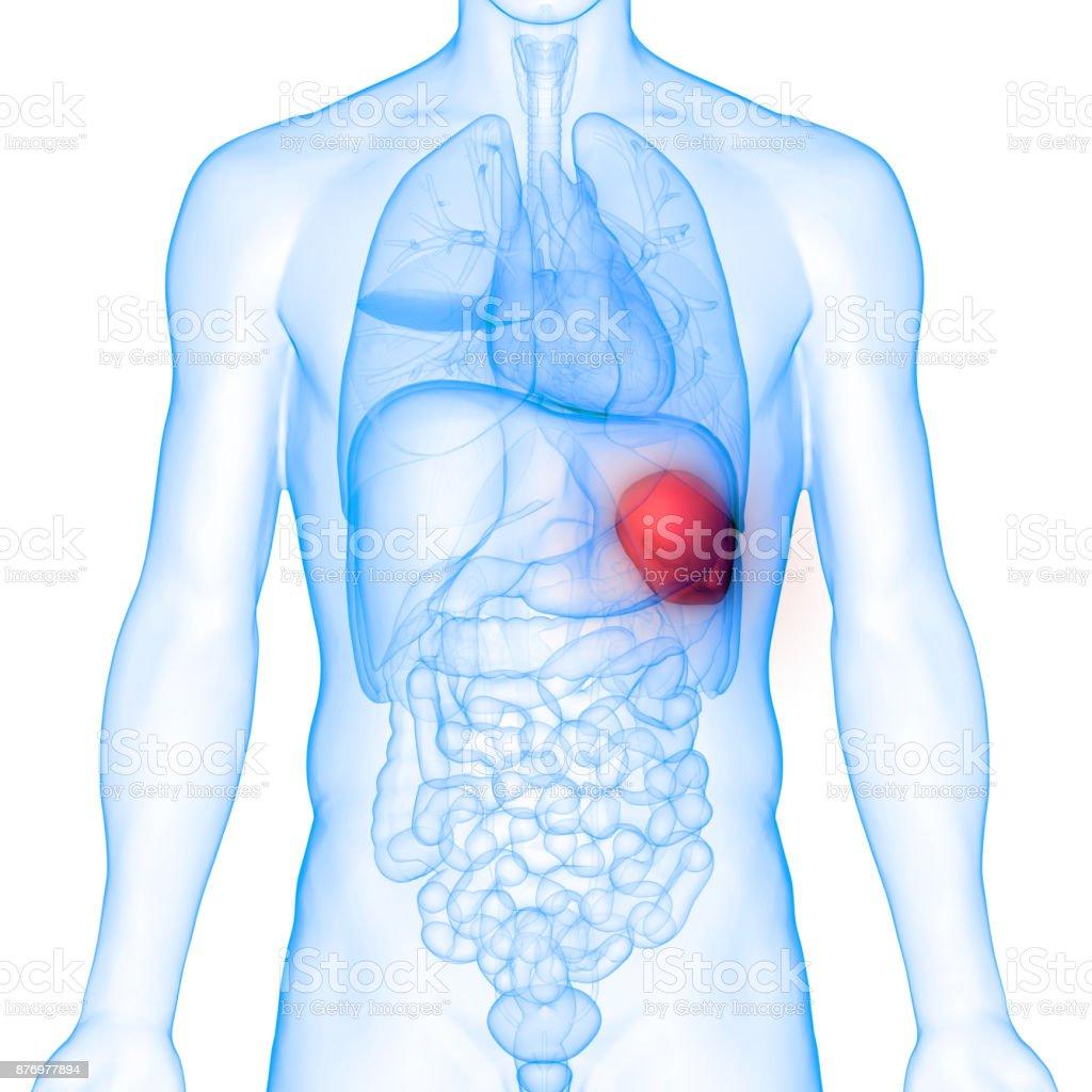 Anatomía de los órganos del cuerpo humano (bazo) - foto de stock