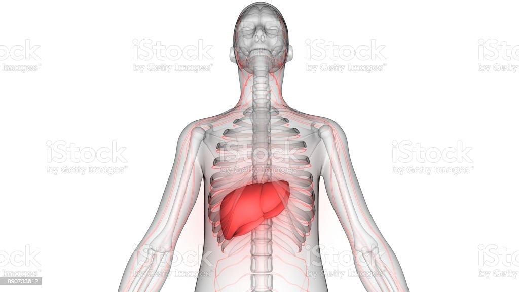 Anatomía De órganos De Cuerpo Humano - Fotografía de stock y más ...