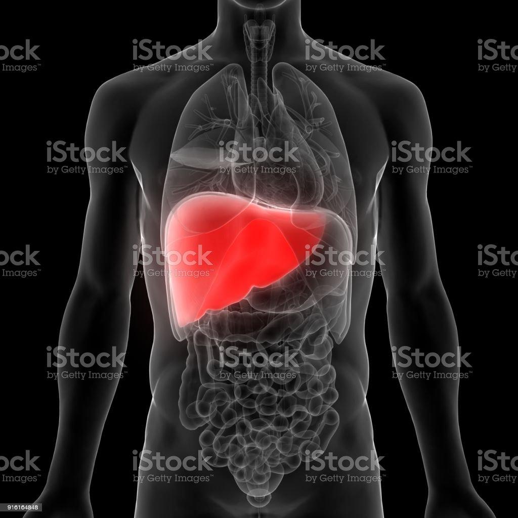 Anatomía De Los órganos Del Cuerpo Humano - Fotografía de stock y ...