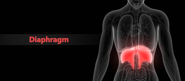 Human Body Organs (Diaphragm) Anatomy stock photo
