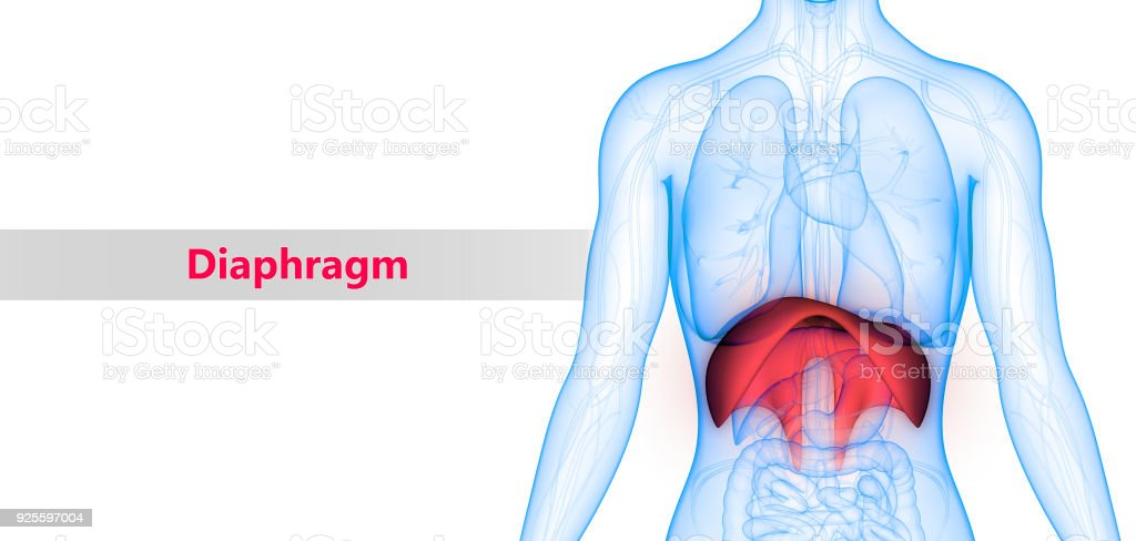 Anatomía De órganos Del Cuerpo Humano - Fotografía de stock y más ...