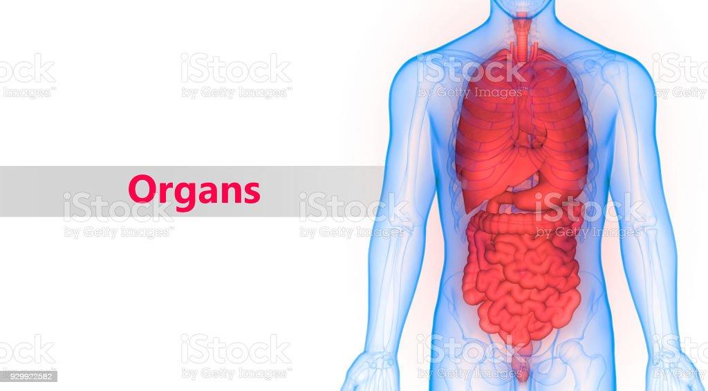 Menschlichen Körper Organe Anatomie Stock-Fotografie und mehr Bilder ...