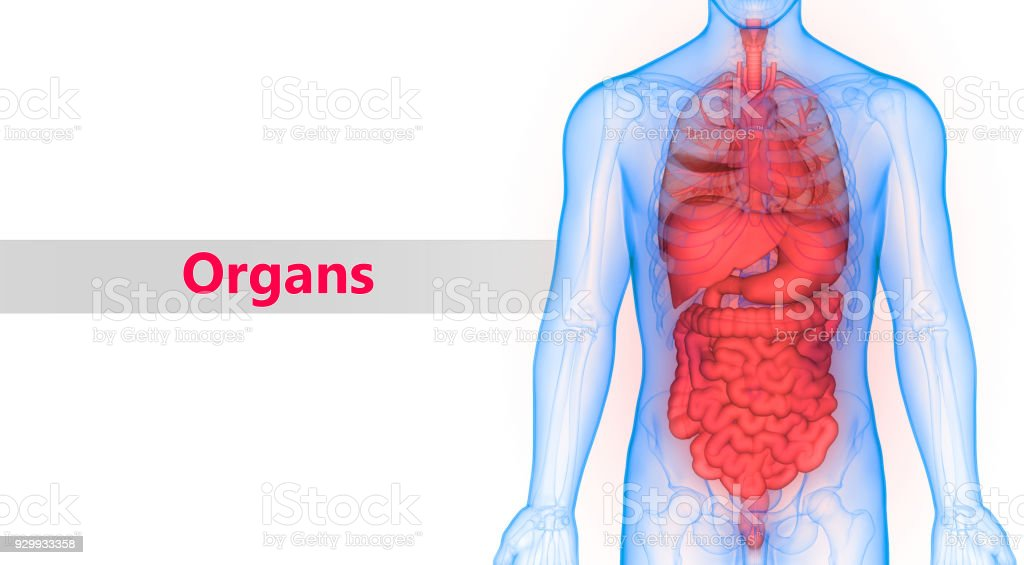 Human Body Organs Anatomy Stock Photo More Pictures Of Abstract