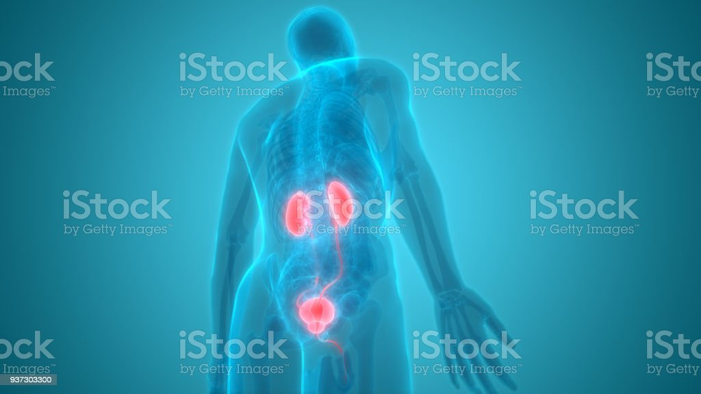 Human Body Organs (Kidneys with Urinary Bladder) Anatomy stock photo