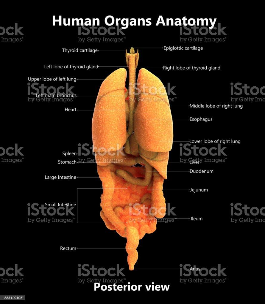 Anatomía De Etiquetas Detalladas De órganos De Cuerpo Humano ...