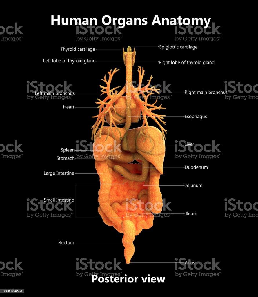Fotografía de Anatomía De Etiquetas Detalladas De órganos De Cuerpo ...