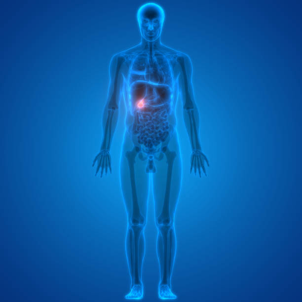 Human Body Organs Gallbladder Anatomy stock photo