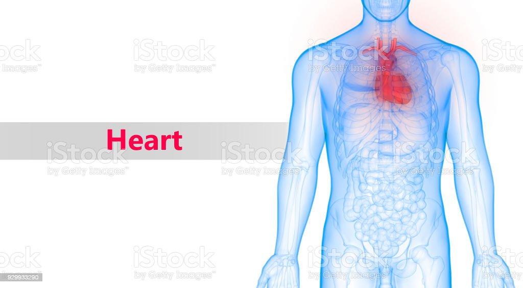 Fotografía de Cuerpo Humano órganos Corazón Anatomía y más banco de ...