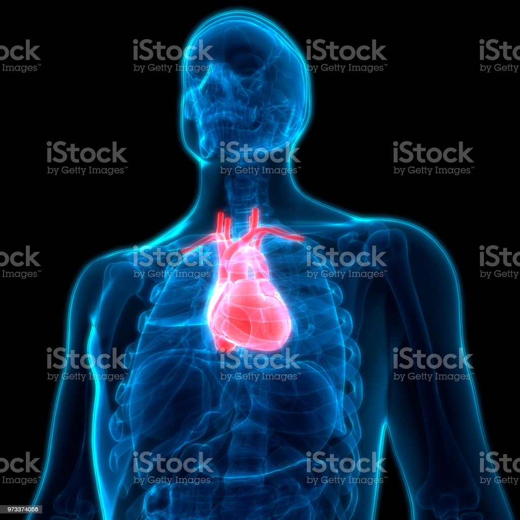 Human Body Organs Heart Anatomy Stock Photo - Download Image