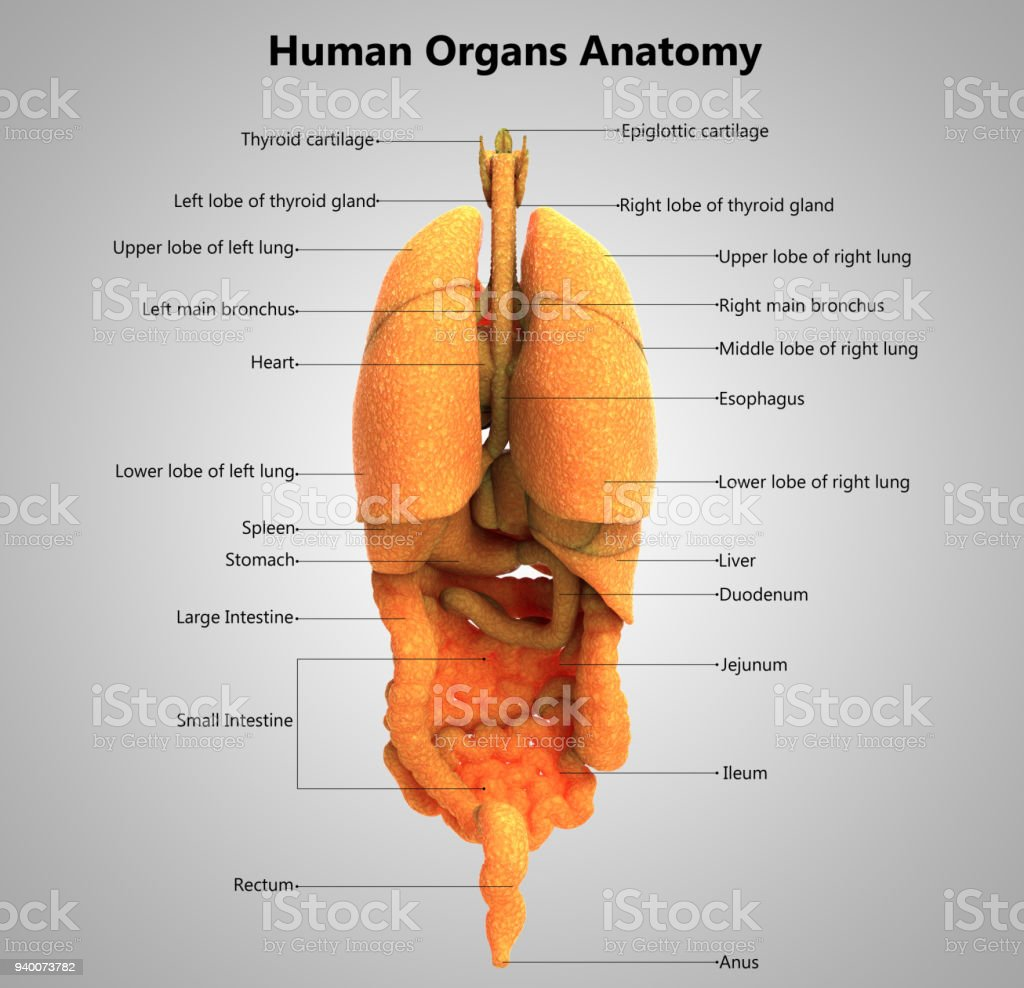 Human Body Organs Label Design Anatomy Stock Photo More Pictures